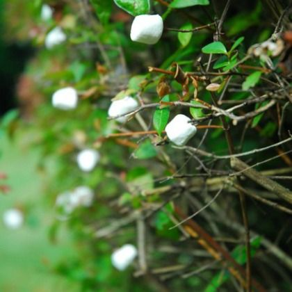 Pick some marshmallows outside under a marshmallow fruit bearing tree this April Fools!